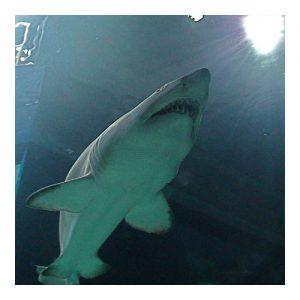 Shark Conservation at the Aquarium